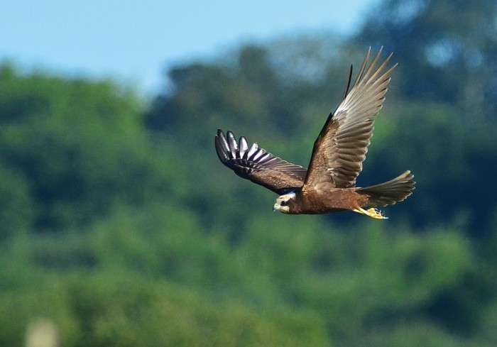 Marsh Harrier, credit Elizabeth Dack